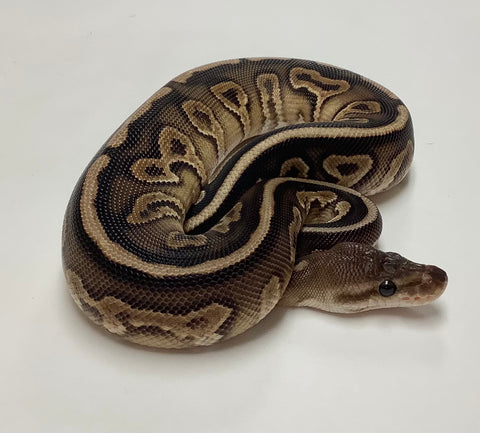 Fire Cinnamon Cypress Ball Python Female - #2020F01