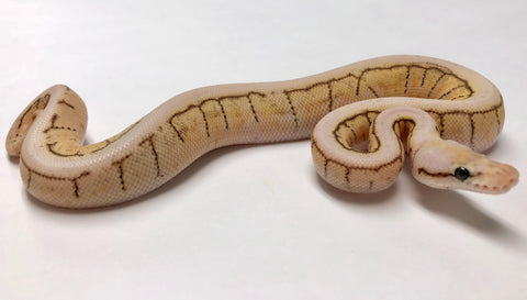 Pastel King Spin Ball Python - Male #2018M01