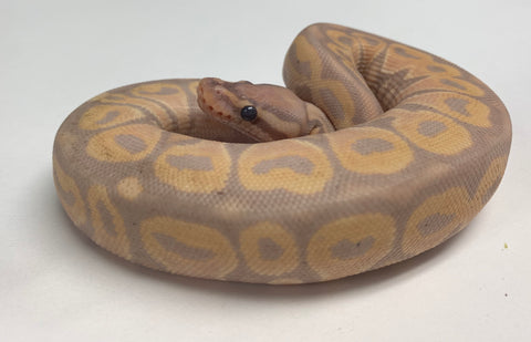 Banana Het Red Ball Python - Female #2019F01