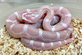 Snow Cornsnake  100% Het Scaleless