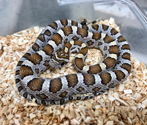 Carmel 66% Possible Het Scaleless Cornsnake - BHB Reptiles