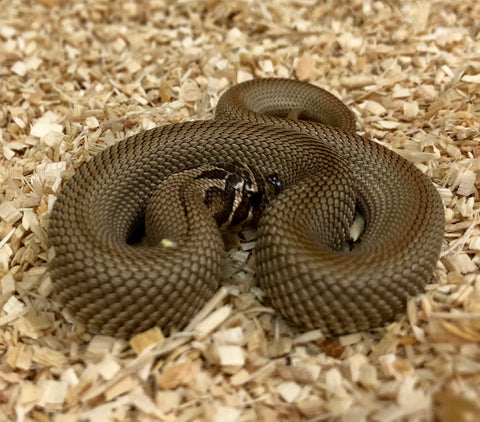 Super Anaconda Western Hognose- Male