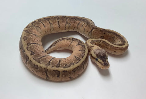 Lemonblast Yellowbelly Red Stripe Ball Python - Female #2020F01