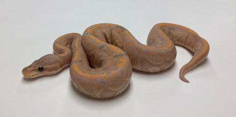 Banana Black Pastel Ball Python - Male #2020M06