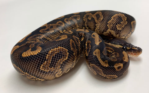 Black Pastel Yellowbelly Ball Python  - Male #2019M02