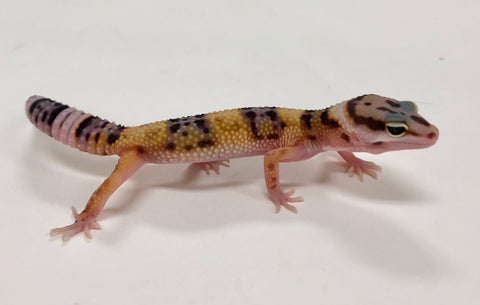 Normal Leopard Gecko (TSF) - #TB-R7-60519-1
