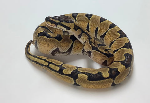 Enchi X-treme Gene Ball Python- Female #2020F02