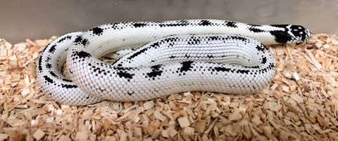 Hi White California Kingsnake