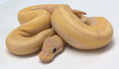 Banana Super X-Treme Pinstripe Gene Ball Python - Male #2019M01