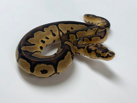 Clown Het Albino Ball Python- Male #2020M01