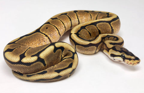 Spider Red Stripe Ball Python - Female #2018F02