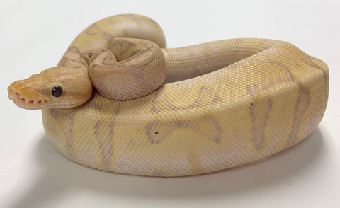 Banana Chocolate Spider Ball Python - Wobble - #2019M02