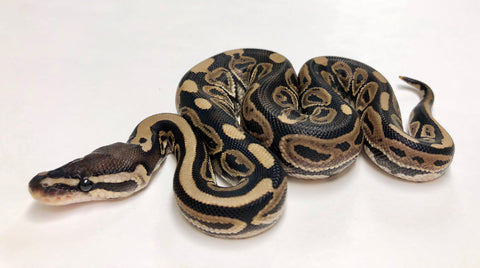Lori Het Ghost Ball Python- Female #2018F02 - BHB Reptiles