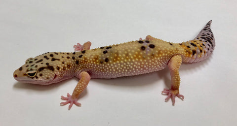 Normal Pos W/Y Leopard Gecko (TSF)- #BB-F4-81817-1