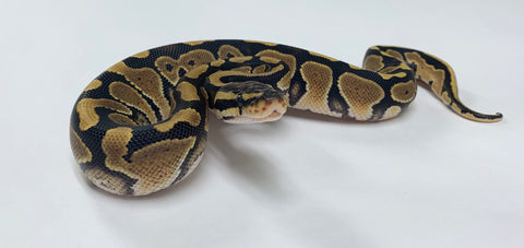 X-treme Gene Ball Python- Female #2020F03