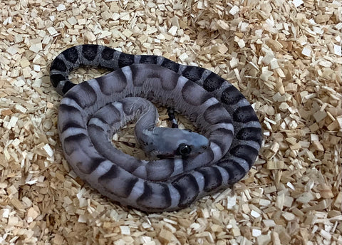 Scaleless Anerythristic Cornsnake- #2020 M01