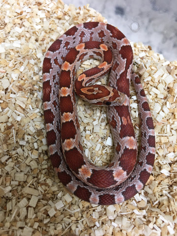 Corn Snakes For Sale - BHB Reptiles