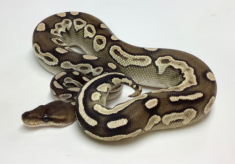 Savannah Ball Python - Male #2019M01