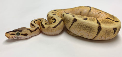 Stinger Fire Orange Dream Ball Python - Male #2019M02
