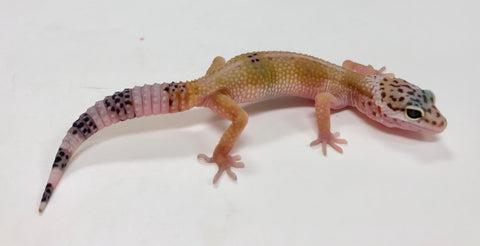 Normal Leopard Gecko (TSF) - #TB-G11-60519-1