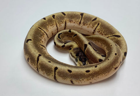 Super Enchi Spider Ball Python - Female #2020F02
