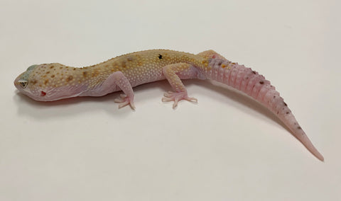 Mack Snow Eclipse W/Y Leopard Gecko-Male-#TB-T-F5-91919-1