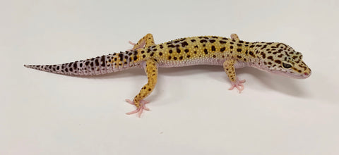 Eclipse Possible Het Tremper Leopard Gecko Male- #TA-L-G9-72418-1