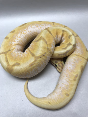 Banana Stinger Bee Ball Python - Male #2016M02