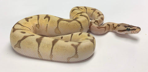 Queenbee Super Enchi Ball Python - Male #2019M02
