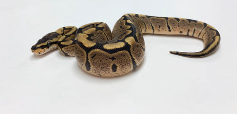 Woma Ball Python - Female #2020F01
