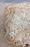 Albino Granite Checkered Gartersnake - BHB Reptiles