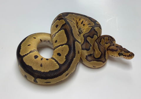 Clown Het Albino Ball Python- Male #2020M05