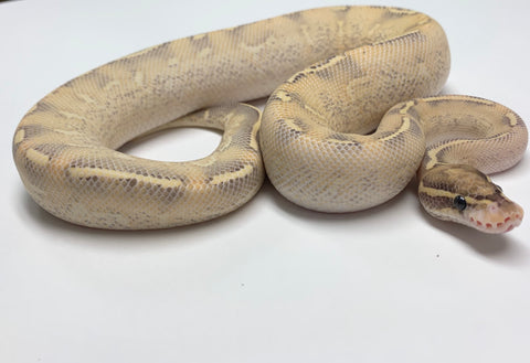Highway McKenzie Ball Python Male - #2019M01