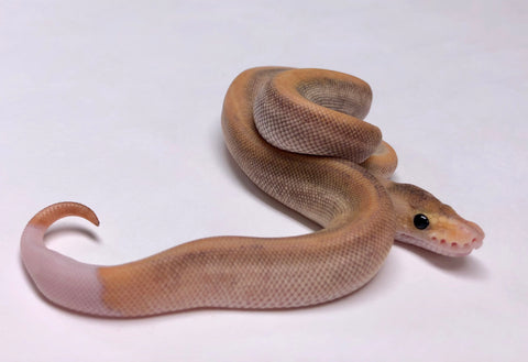 Ball Pythons For Sale Tagged Male Page 3 Bhb Reptiles