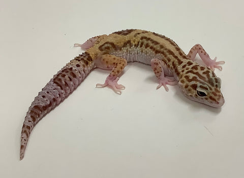 Jungle Mack Snow Raptor Leopard Gecko(TSF)- #TB-O-J12-81019-1