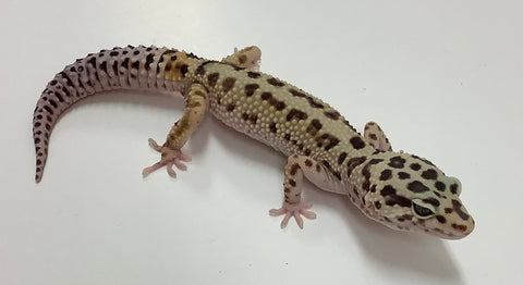 Normal Stripe Pos Mack Snow Leopard Gecko(TSF) - #TB-R-E6-82119-1