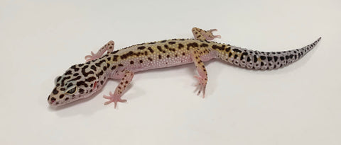 Stripe Mack Snow Het Eclipse Leopard Gecko -Male-#TA-AA-R9-82918-1