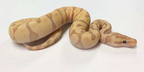 Banana Super Enchi Ball Python - Male #2019M02