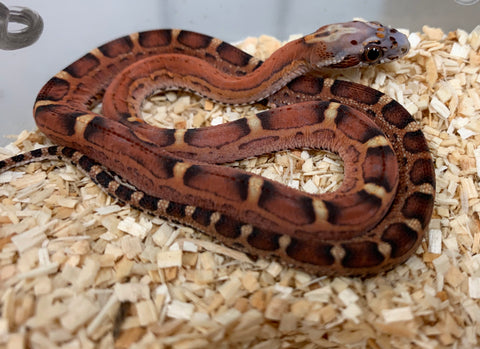Scaleless Bloodred Cornsnake- #2019M02