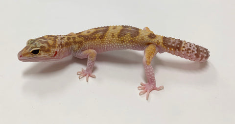 Jungle Raptor Leopard Gecko Male - #TB-FF-M3-62519-1