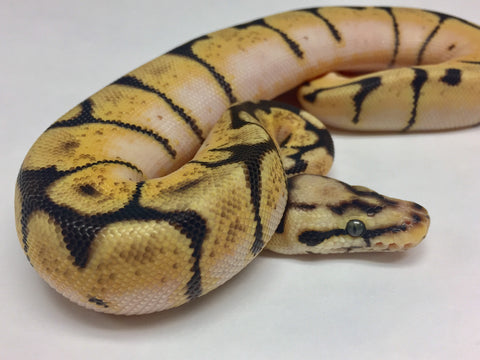 Bumblebee Orange Dream Ball Python - Female #2017F02 - BHB Reptiles
