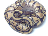 Phantom Yellowbelly Ball Python - Male #20162RM2