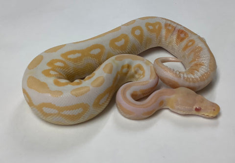 Albino Cinnamon Ball Python- Male #2020M05