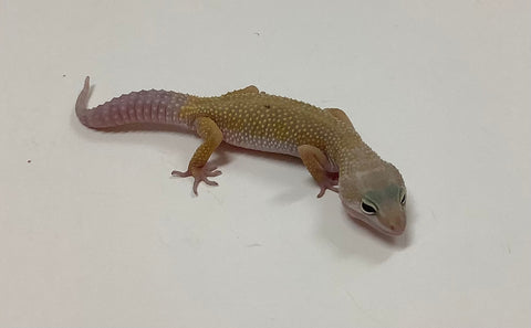 Dark Murphy Patternless Leopard Gecko -Male-#GG-I2-81320-1