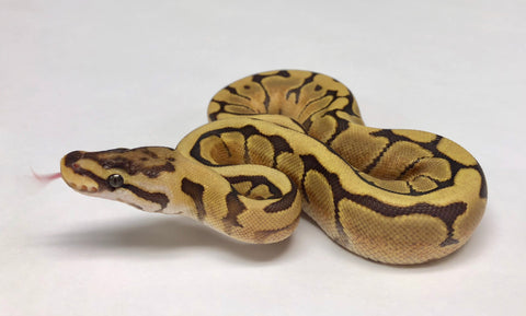 Caramel Spider Ball Python - Female - #2018F02