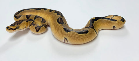 Enchi Clown Ball Python- Male #2020M01