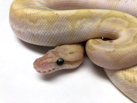 Bamboo Mojave Fire Cinnamon Woma Ball Python - Male #2017M01