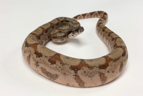 Hypomelanistic Central American Boa Constrictor