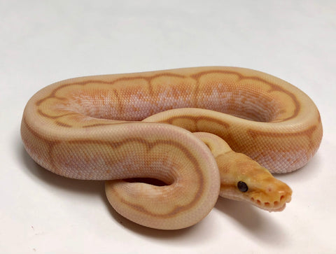 Banana Motley Bee Ball Python - Male #2018M01 - BHB Reptiles
