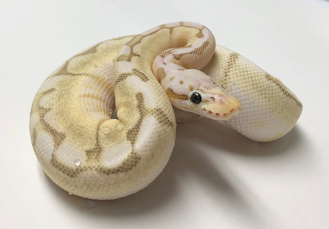Bamboo Bumblebee Ball Python - Female With Wobble